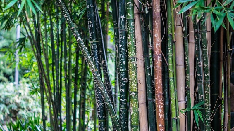 Bamboo Tall Trees