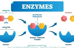 Enzymes Enable Digest Carbs
